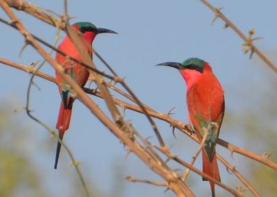carmine Bee-Eaters Lower Zambezi Lodge