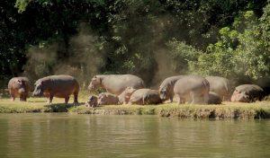 lower zambezi hippos
