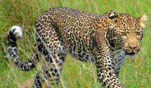 Leopard Zambia Lower Zambezi Lodge