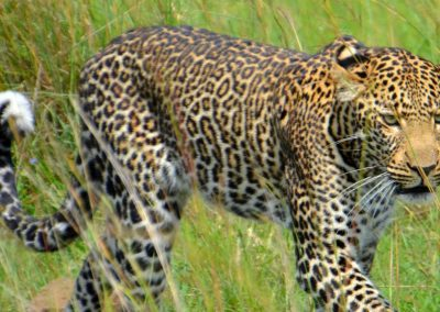 Leopard Zambia Lower Zambezi Lodge