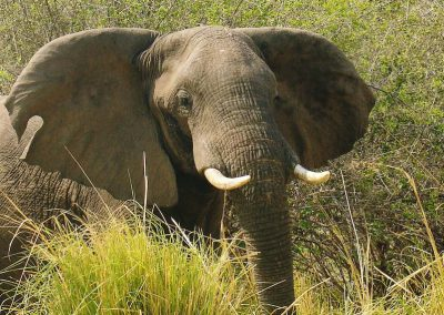 Lower Zambezi elephant