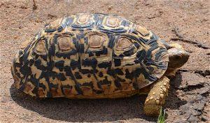 lower zambezi tortoise
