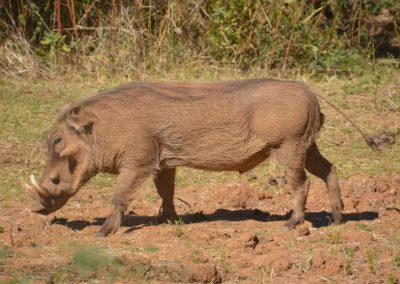 Lower Zambezi warthog