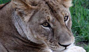 Lower Zambezi lioness