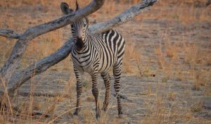 Young Zebra Lower Zambezi Lodge