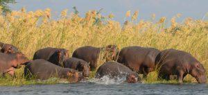 Lower Zambezi African hippos