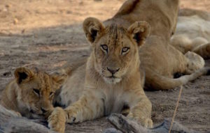 lower zambezi lodge lions