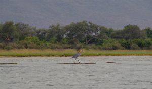 lower zambezi birds