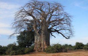 Lower Zambezi baobab