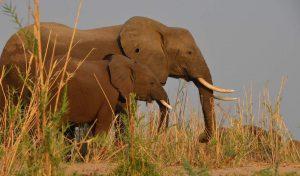 lower zambezi elephants